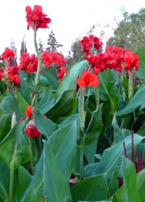 фото канны красные